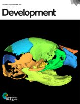 Interactive 3D model of an E18.5 typically developing mouse skull based on microCT data. Different colours indicate distinct bones. See Research article by Samuels et al. (dev191213).