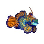 Mandarin Fish: This was one of my earlier #SundayFishSketch pieces. It took me two weeks to get all the details right! Since then, I do quicker pieces for the prompts and more elaborate ones for myself or commissions.