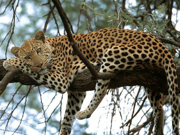 leopard in makalu-barun-national park punjab