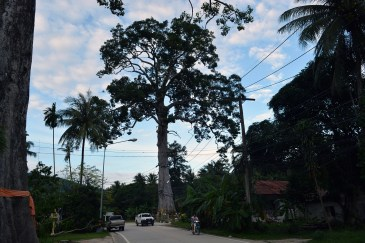 Biggest tree in Southern Thailand, a rubber tree (Yang Na Yai) with diameter of 14 meter and a height of 54 metres.