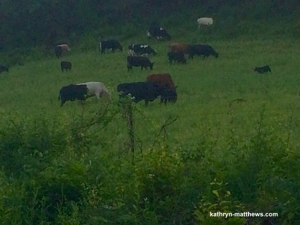 Northwind Farms grass-fed cows