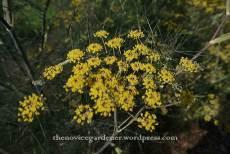 bronze fennel flowers