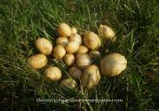 potato harvest2