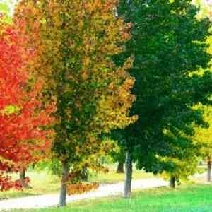 Liquid Amber Tree Balls