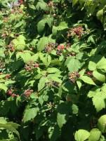 Black raspberries ready to harvest