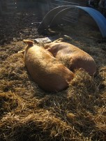 Just about died when I saw these pigs all loved up and basking in the sun.