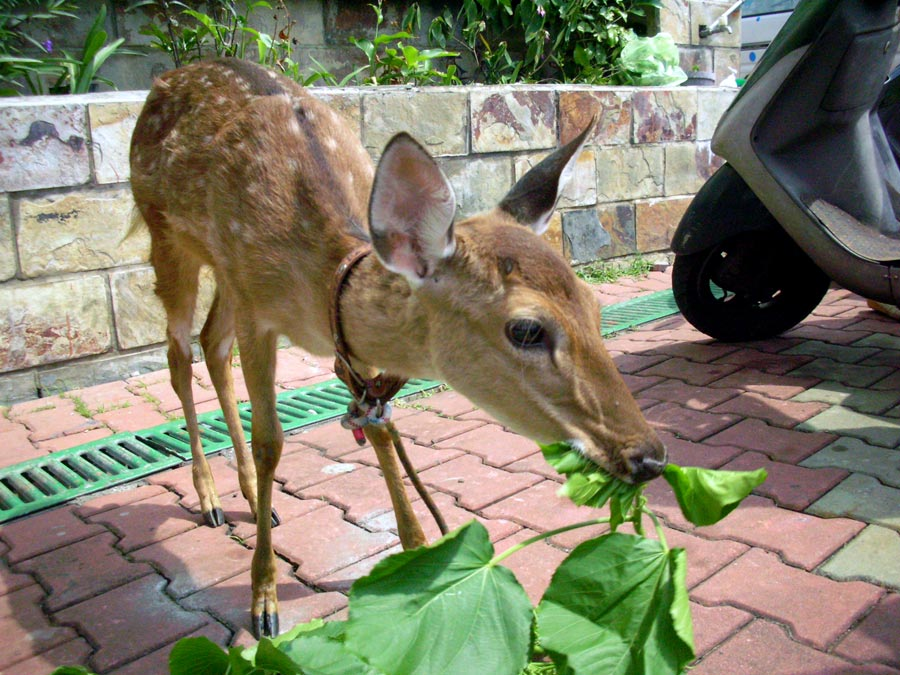 Taitung Lyudao Guesthouse Sika Deer