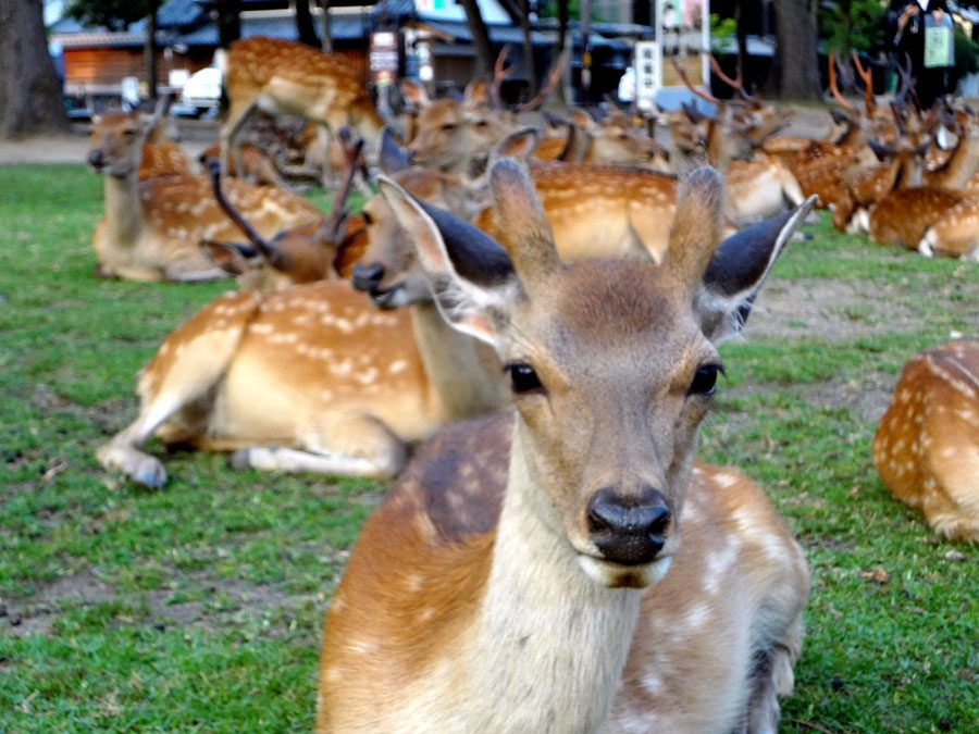 Japan Nara Deer Background
