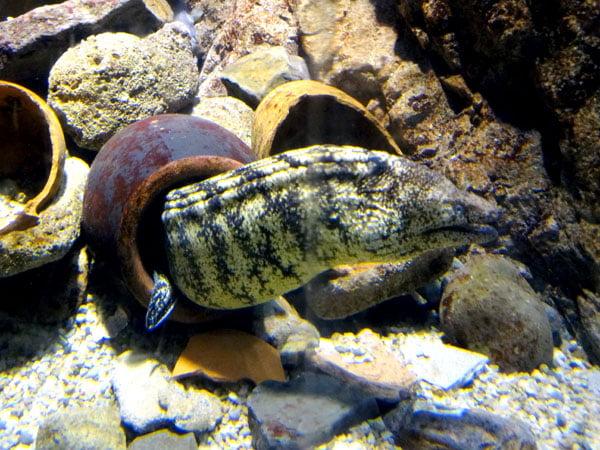 Osaka - Kaiyukan Moray Eel