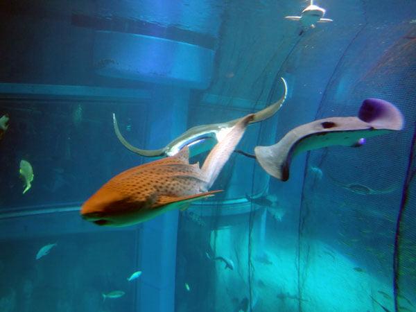 Osaka - Kaiyukan Sharks Rays
