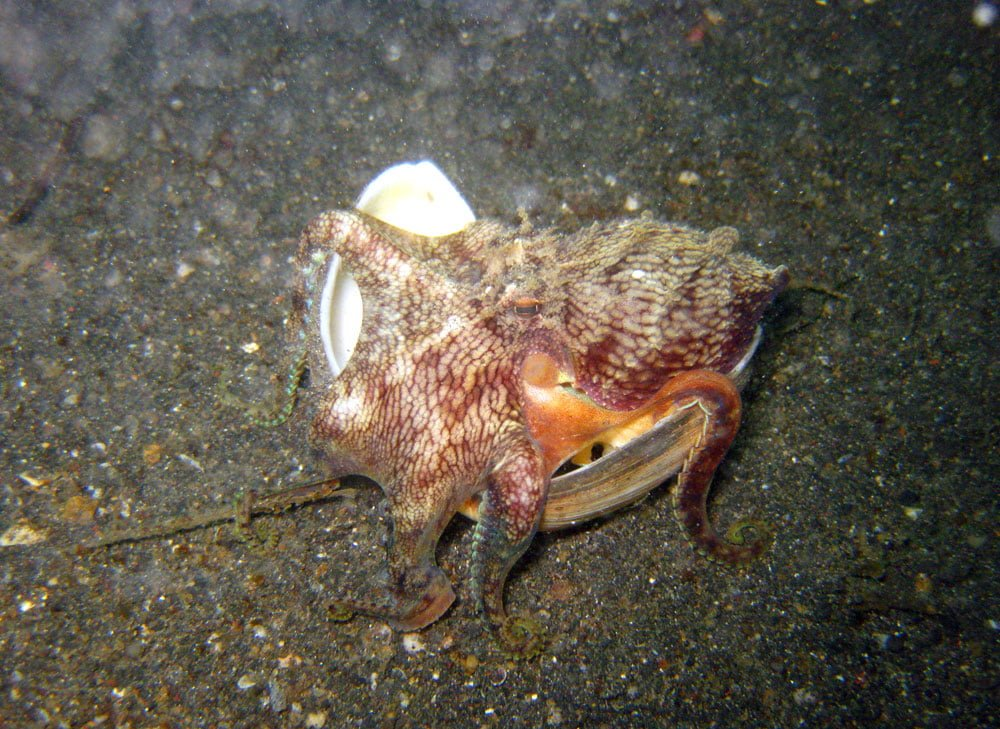 Lembeh Diving Coconut Octopus Walking