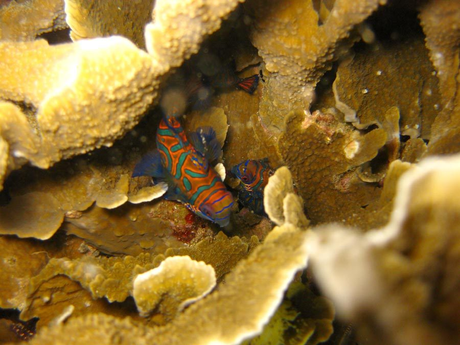 Manado Diving Mandarin Fish Hiding
