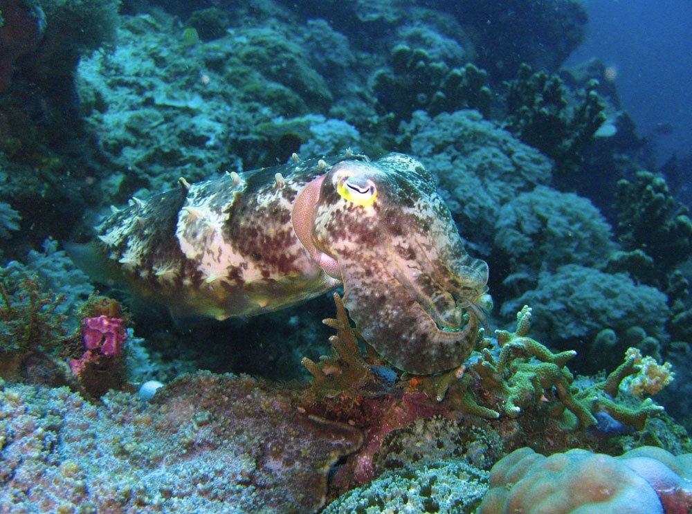 Manado Diving Cuttlefish Broadclub