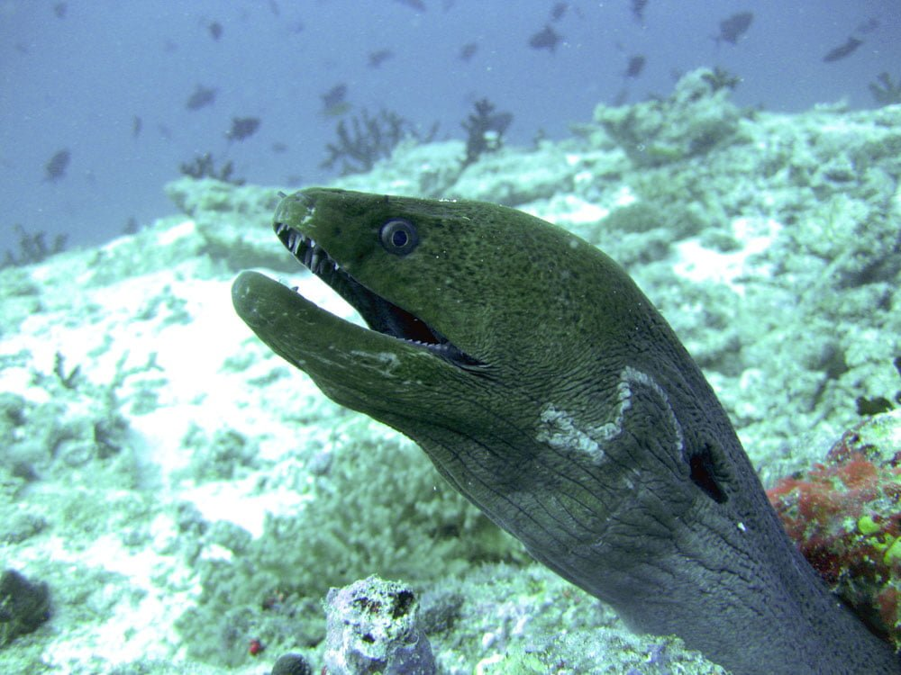 Maldives Diving LOB Moray Eel Closeup