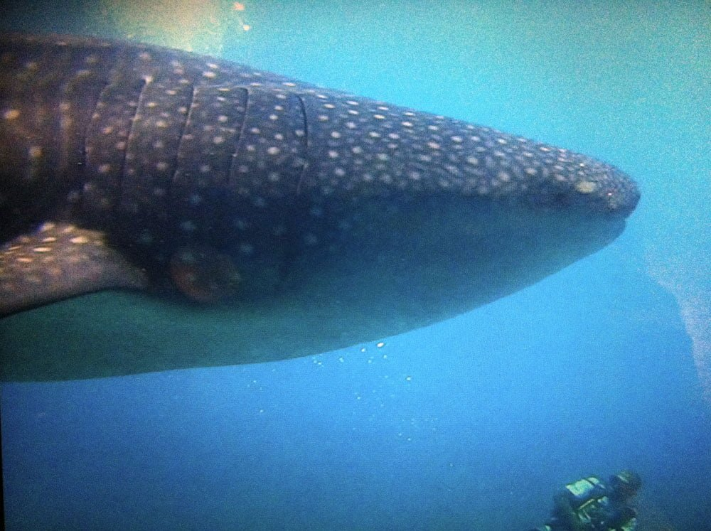 Maldives Diving LOB Whale Shark Man