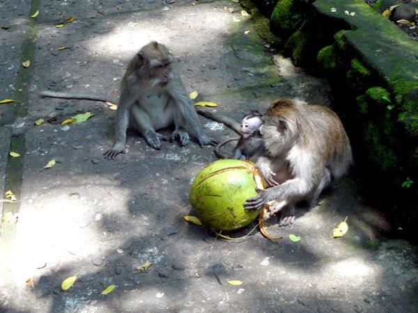 Bali Ubud Monkey Forest Baby