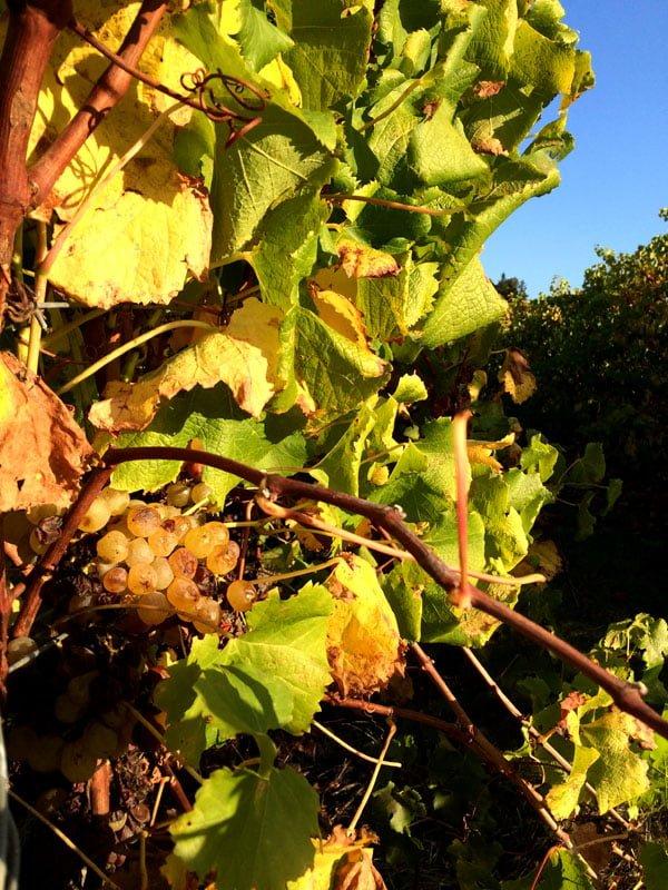 Perth Margaret River Amon Ra Grapes