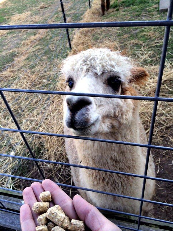 Daylesford Creswick Woolen Mills Alpaca
