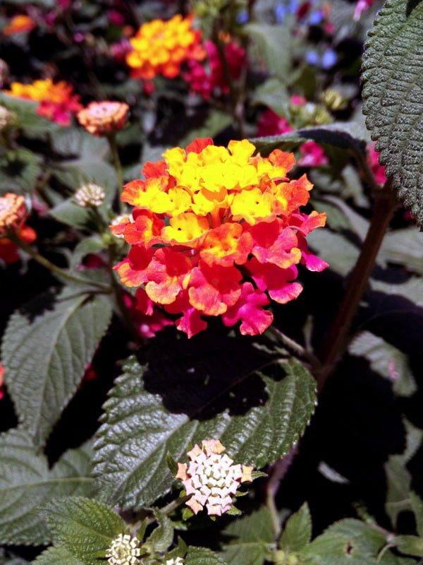Portugal - Tavira Colourful Flowers