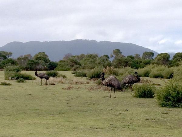 Gippsland Wilsons Promontory Emu