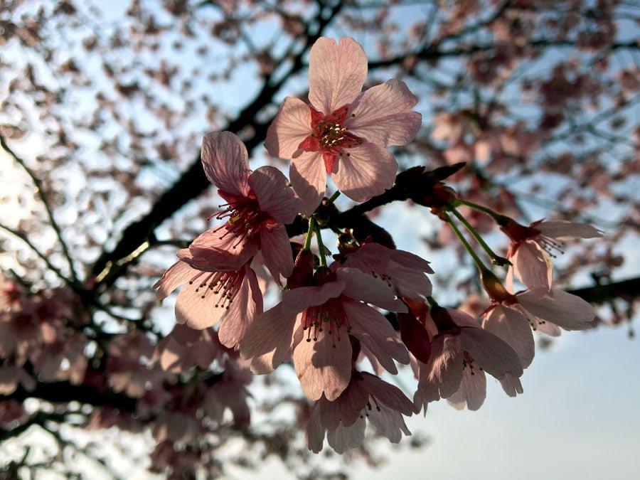 Tokyo Sumidagawa Sakura Pink