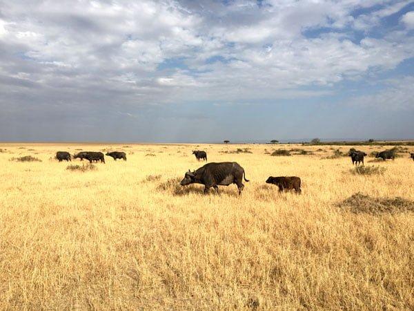 Kenya Maasai Mara Safari Buffalo