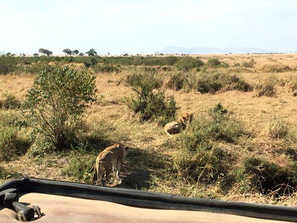Kenya Maasai Mara Safari Lions