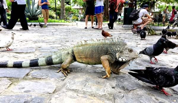 Ecuador Guayaquil Iguana Walking