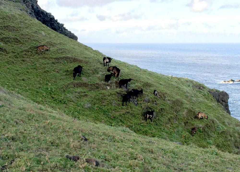 Taitung Lyudao Niutoushan Goats