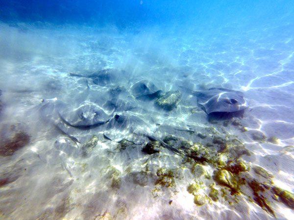 Galapagos Floreana Stingrays Group