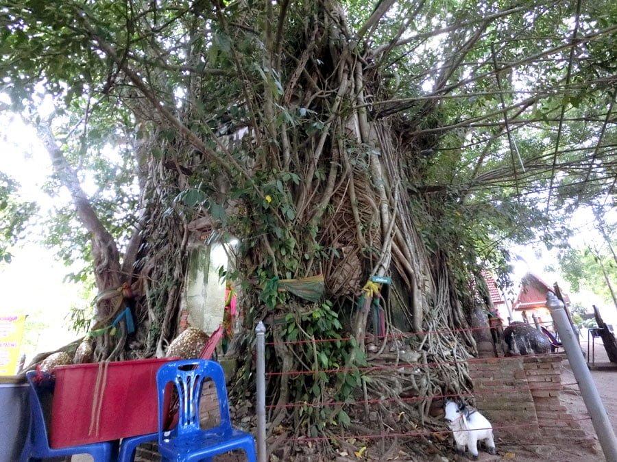 Amphawa Wat Bang Kung Banyan Tree Temple