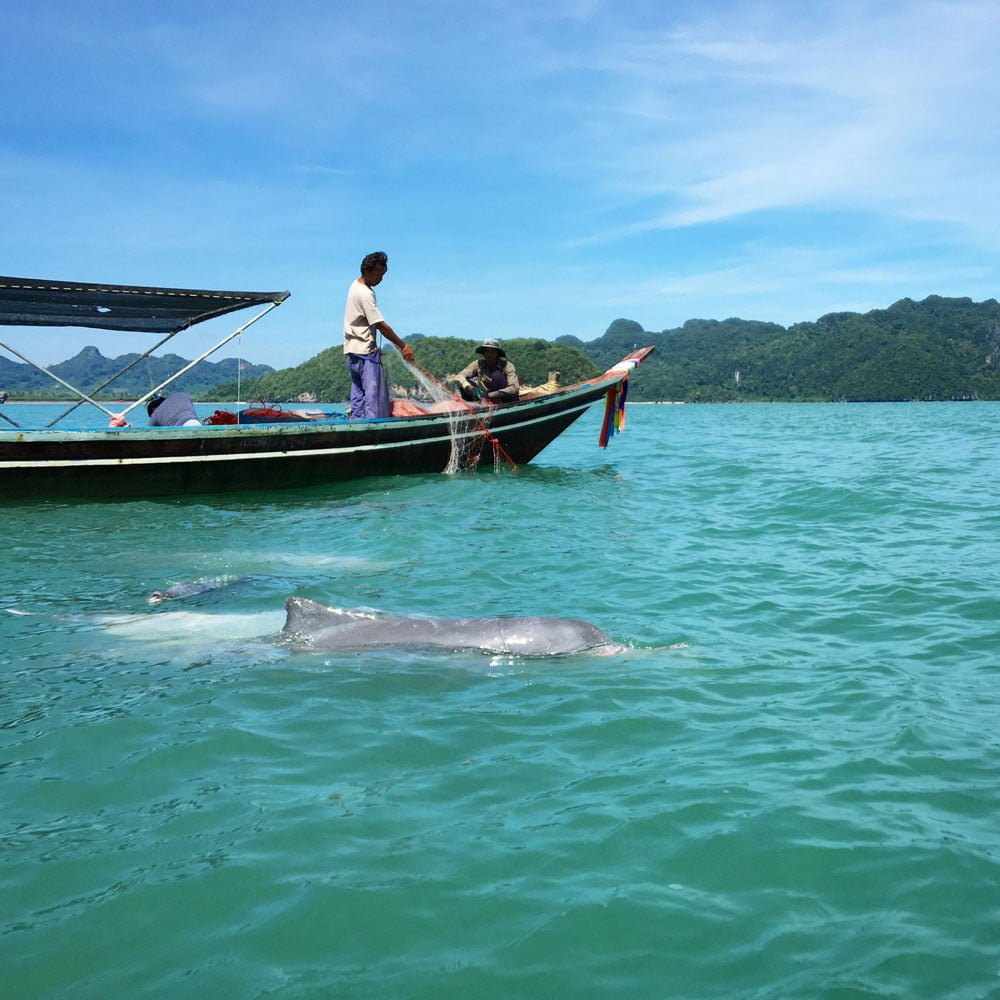 Khanom Grey Dolphin Spotted Fin
