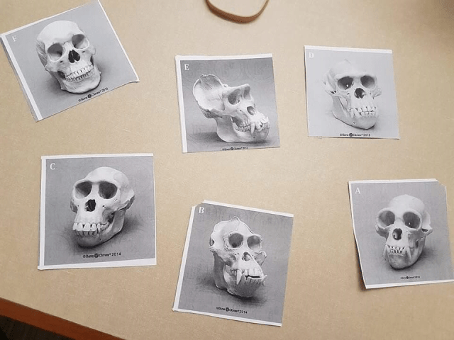 Some skulls that students had to classify.