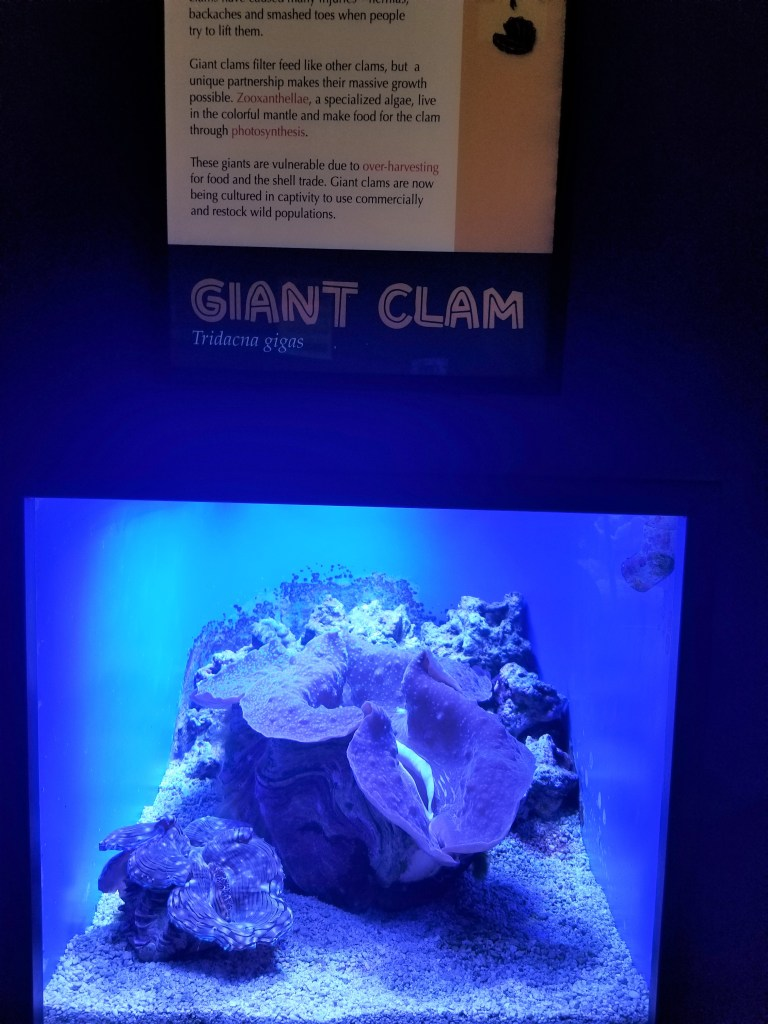 giant clam at Albuquerque Bio Park aquarium