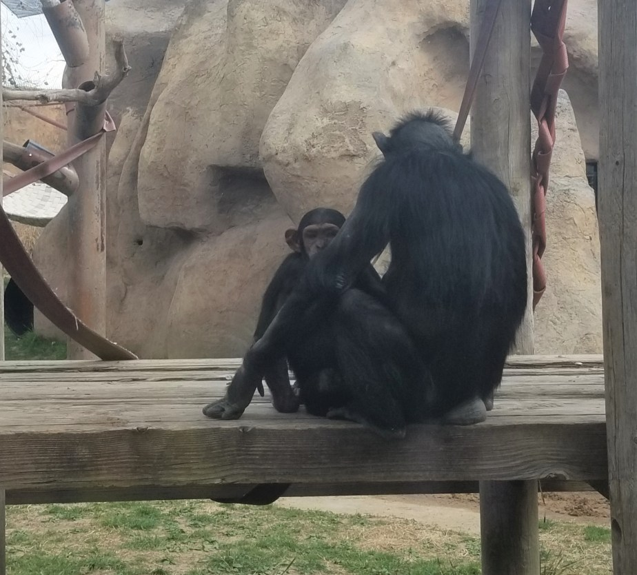 baby chimpanzee at Albuquerque BioPark