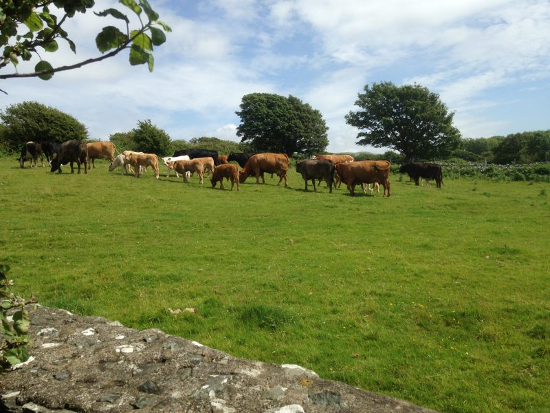 Local herd and calves