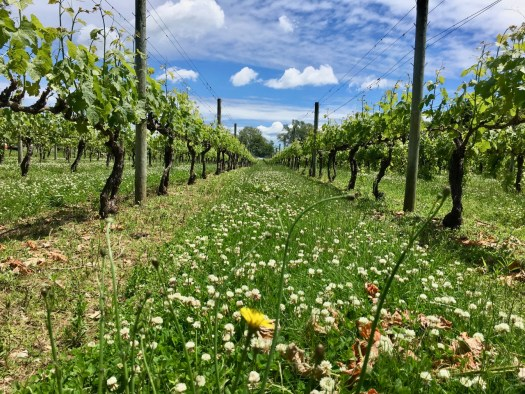Vineyards in late spring with clover flowers and rows of grapevines.