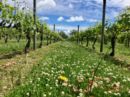 Spring time in the vineyards with clover and dandelions in-between the vines.