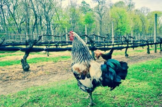 Rooster crowing in vineyard