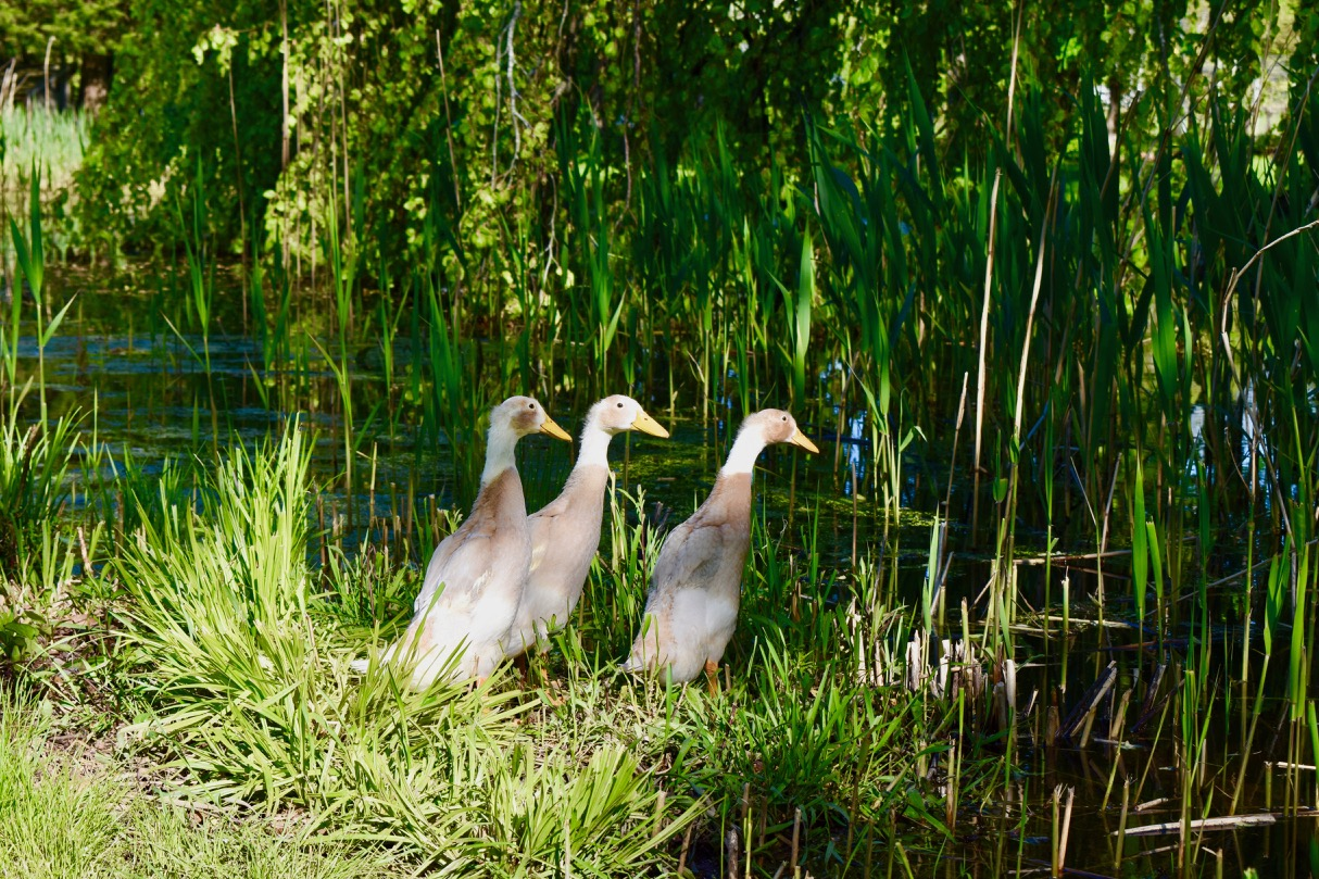 Runner ducks by pond