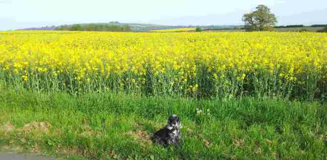 The rapeseed in full bloom on Fell Mill Road in Shipston-On-Stour where the Cotswolds B&B The Old Kiln House is located