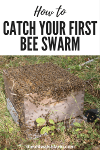 how to catch a bee swarm