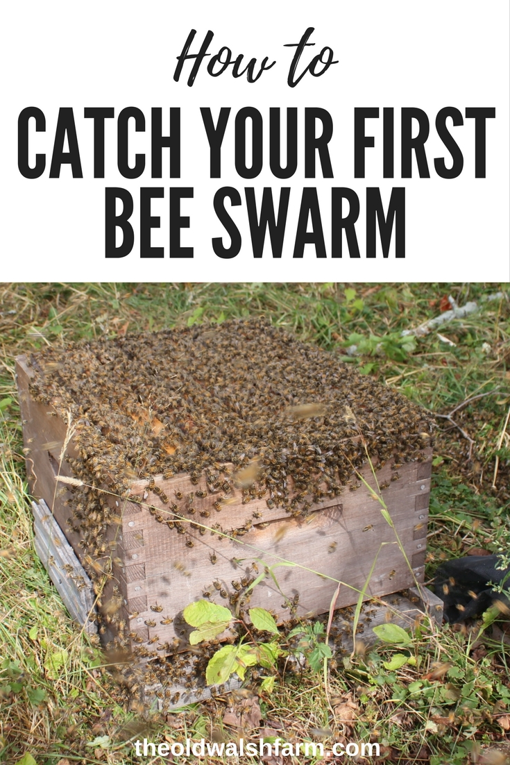 How to catch a bee swarm for beginners