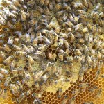 How to find the Queen bee OR – Where's Waldo?