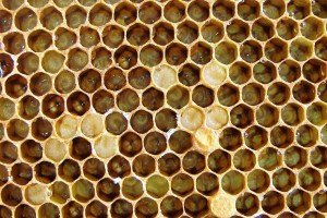 bee larvae