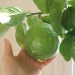 How to grow huge lemons indoors