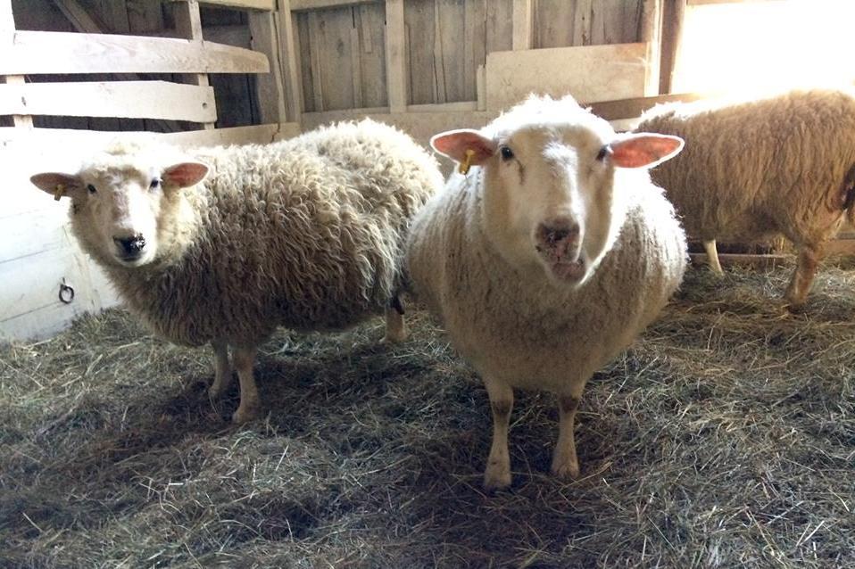 Raising sheep for milk