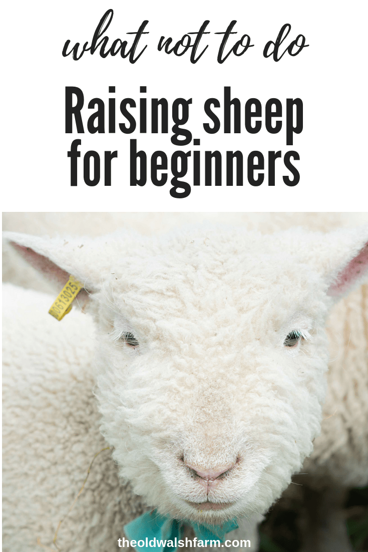 Meet the gang of sheep thieves (Raising sheep for beginners)