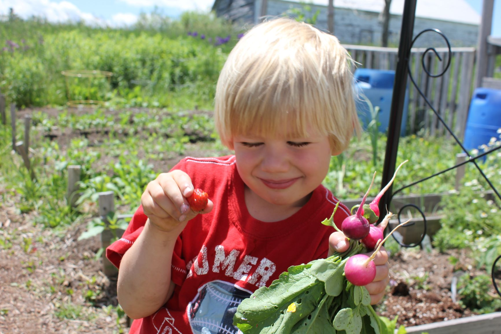 Child picking radishes