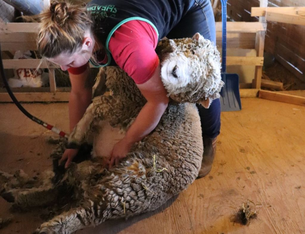 Shearing a Babydoll Southdown Sheep.